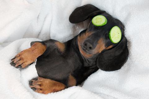 Why Dachshunds Are More Popular Than Ever | Alpha Paw