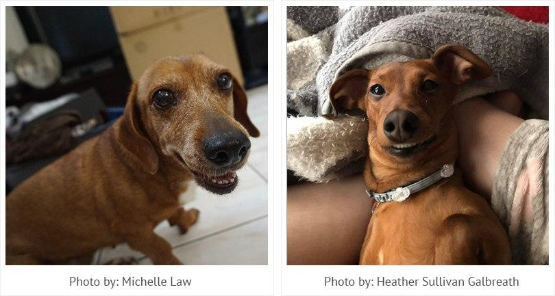 Smiling Dachshunds