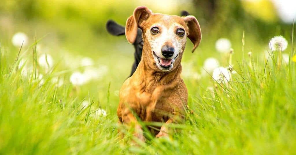 ways to keep your dachshund healthy