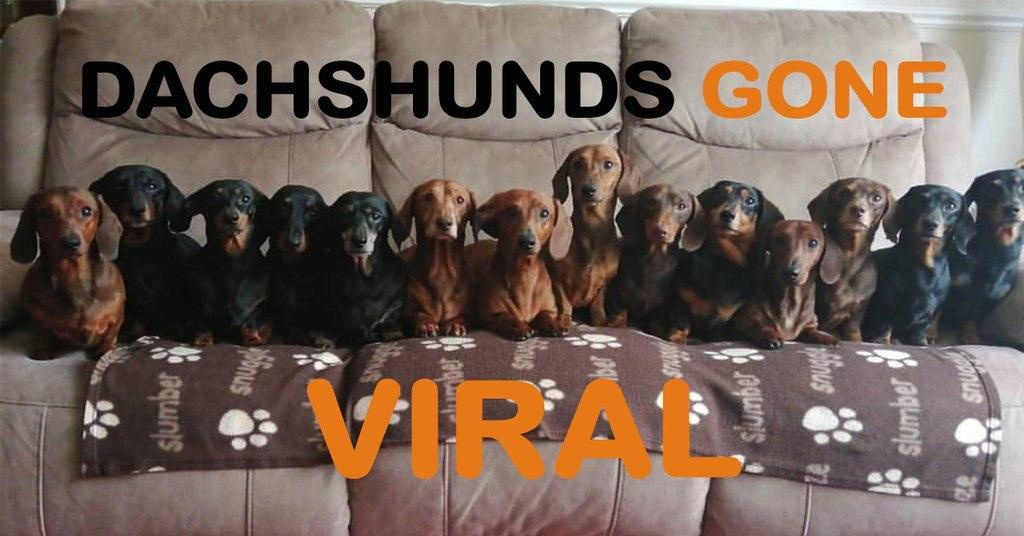 16 Dachshunds that went Viral