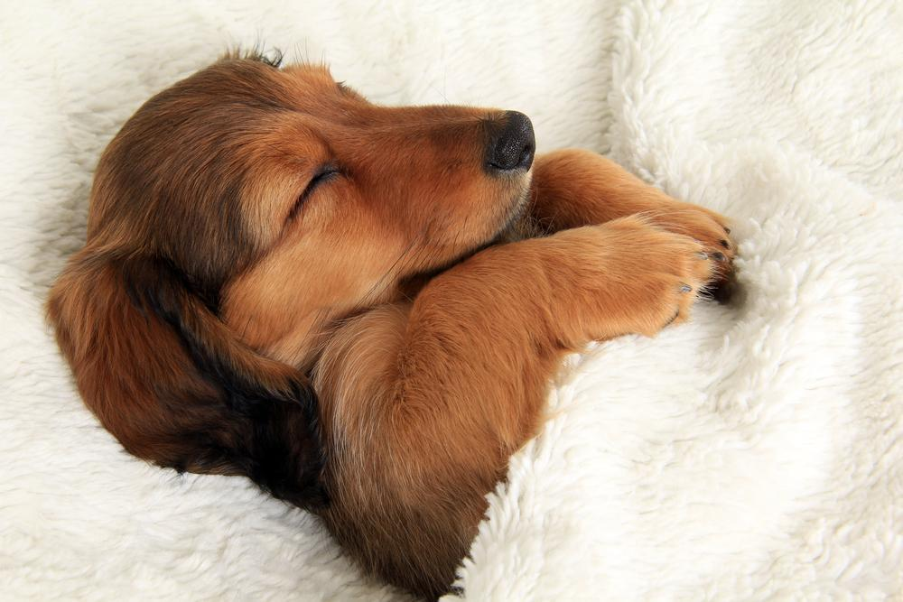 Increased Sleeping in Dachshund caused by Stress