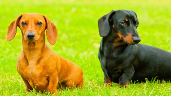 The 3 Types of Dachshunds Do You Know Them All