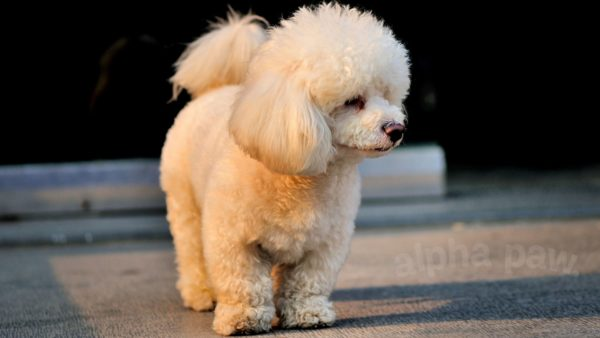 Longest Living Dog Breeds: Is Your Dog On The List?