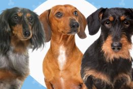 The 3 Types of Dachshunds: Do You Know Them All?