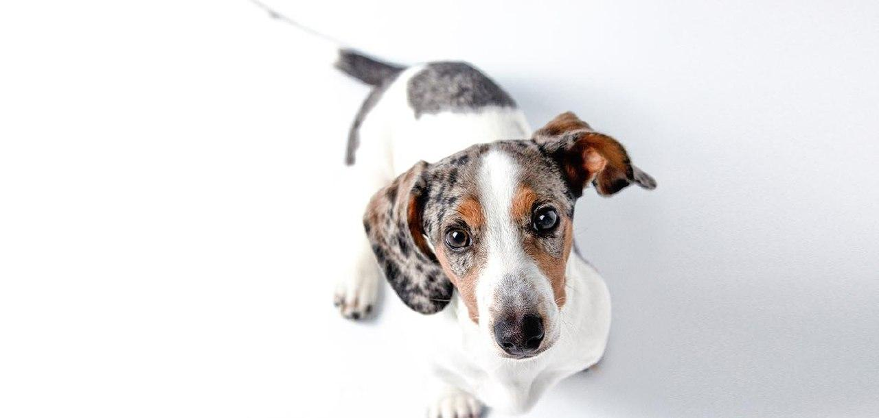 double dapple dachshund