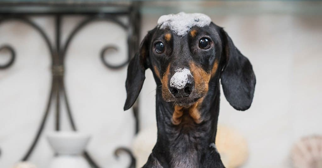 How to Make Your Dachshund Love Bath Time