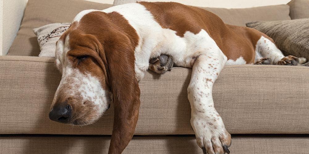 Bassett Hound on Sofa
