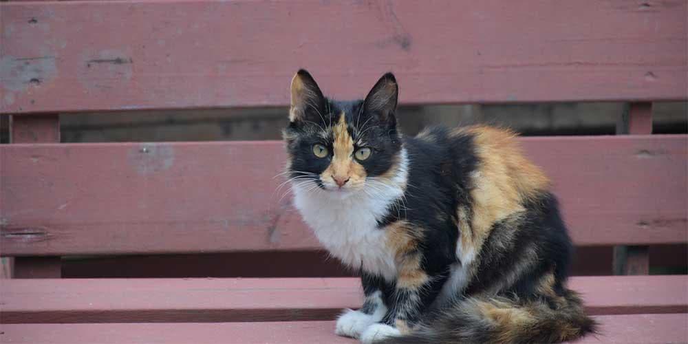 American Wirehair Rare Cat