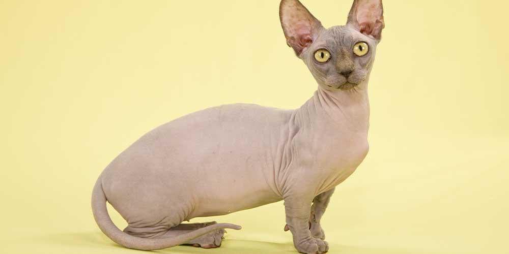 Minskin Rare Cat