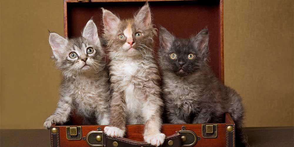 LaPerm Rare Cat