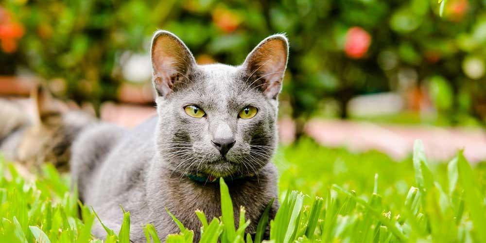 Korat Rare Cat