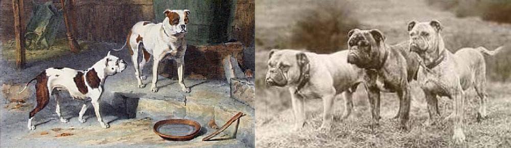 Old English Bulldogs