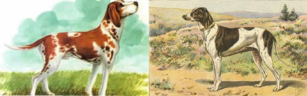 Braque Du Puy Dog Breed