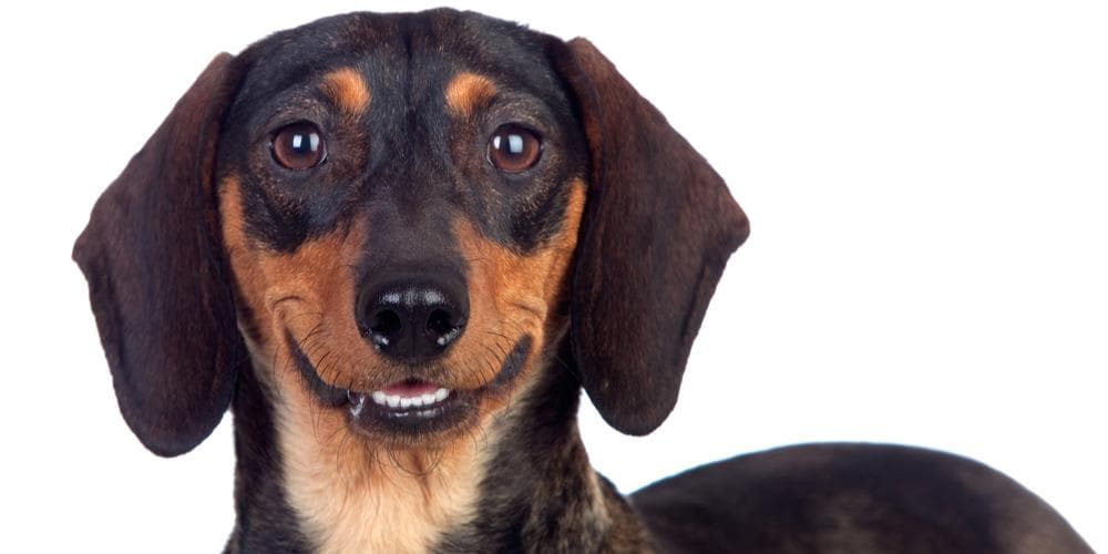 Here are Dachshunds that made it into the Guinness World Book of Records!