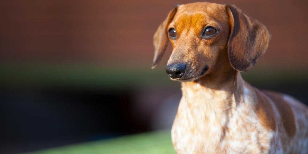 Dachshunds That Made It Into The Guinness World Book of Records!