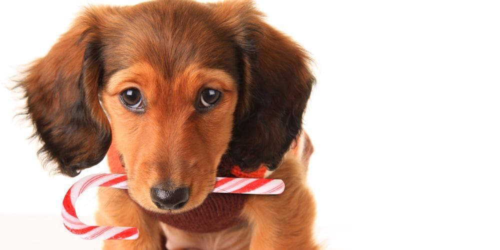 Can Dachshunds get Diabetes?