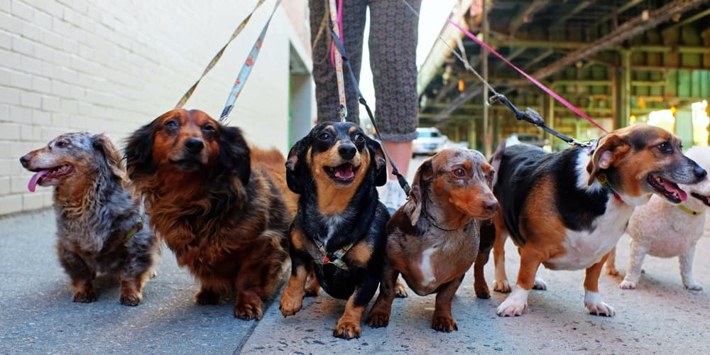 What Dachshunds Help Humans Live Longer?!