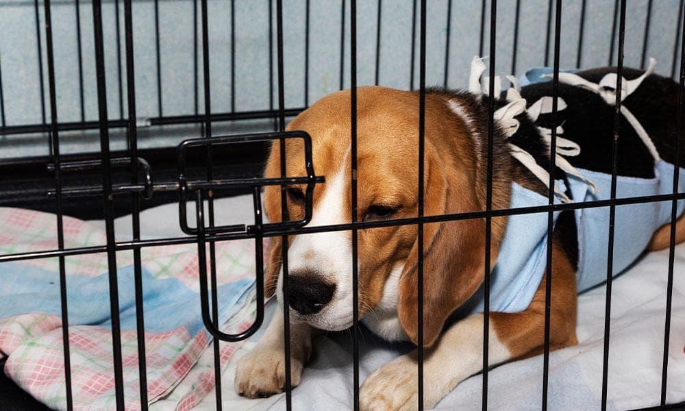 Beagle With IVDD