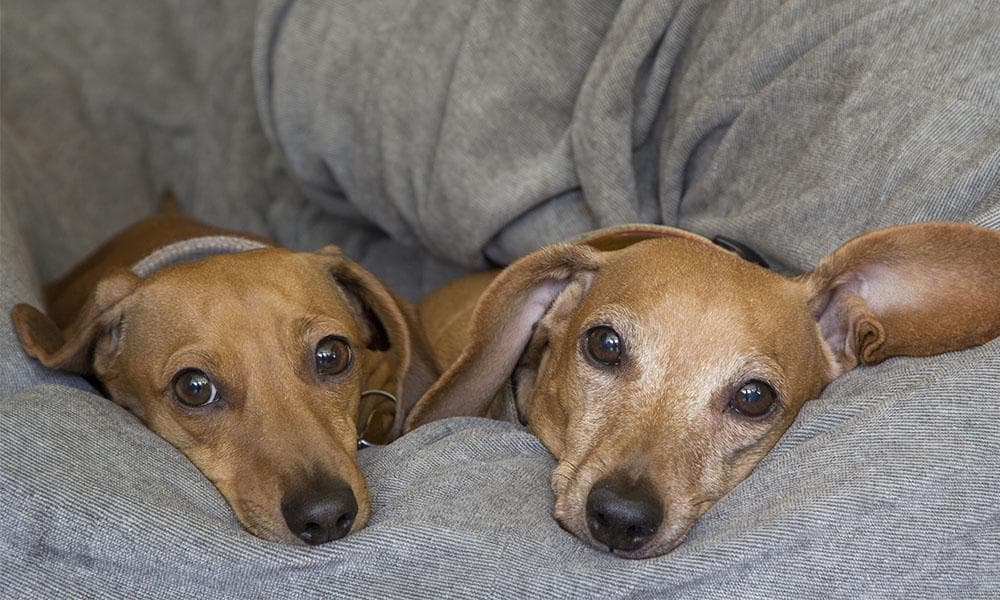 Two Dachshunds with IVDD