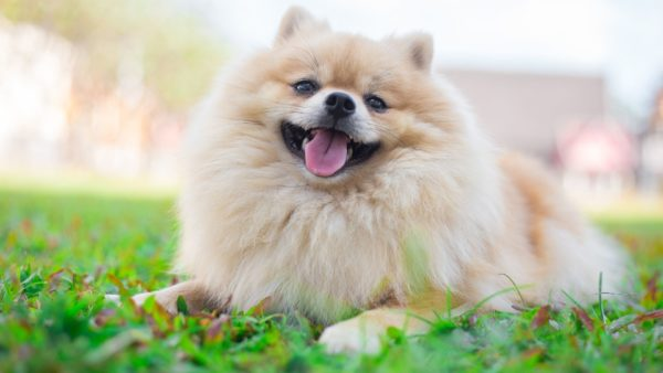 Small Dog Breeds Directory: A Guide for Pet Parents