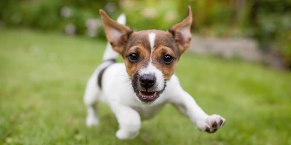 Is It True That Smaller Breeds Tend To Be More Vicious?