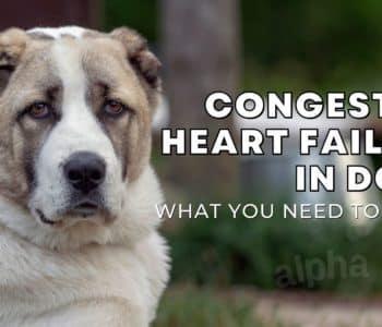 Congestive Heart Failure in Dogs: Symptoms, Treatment & Prevention
