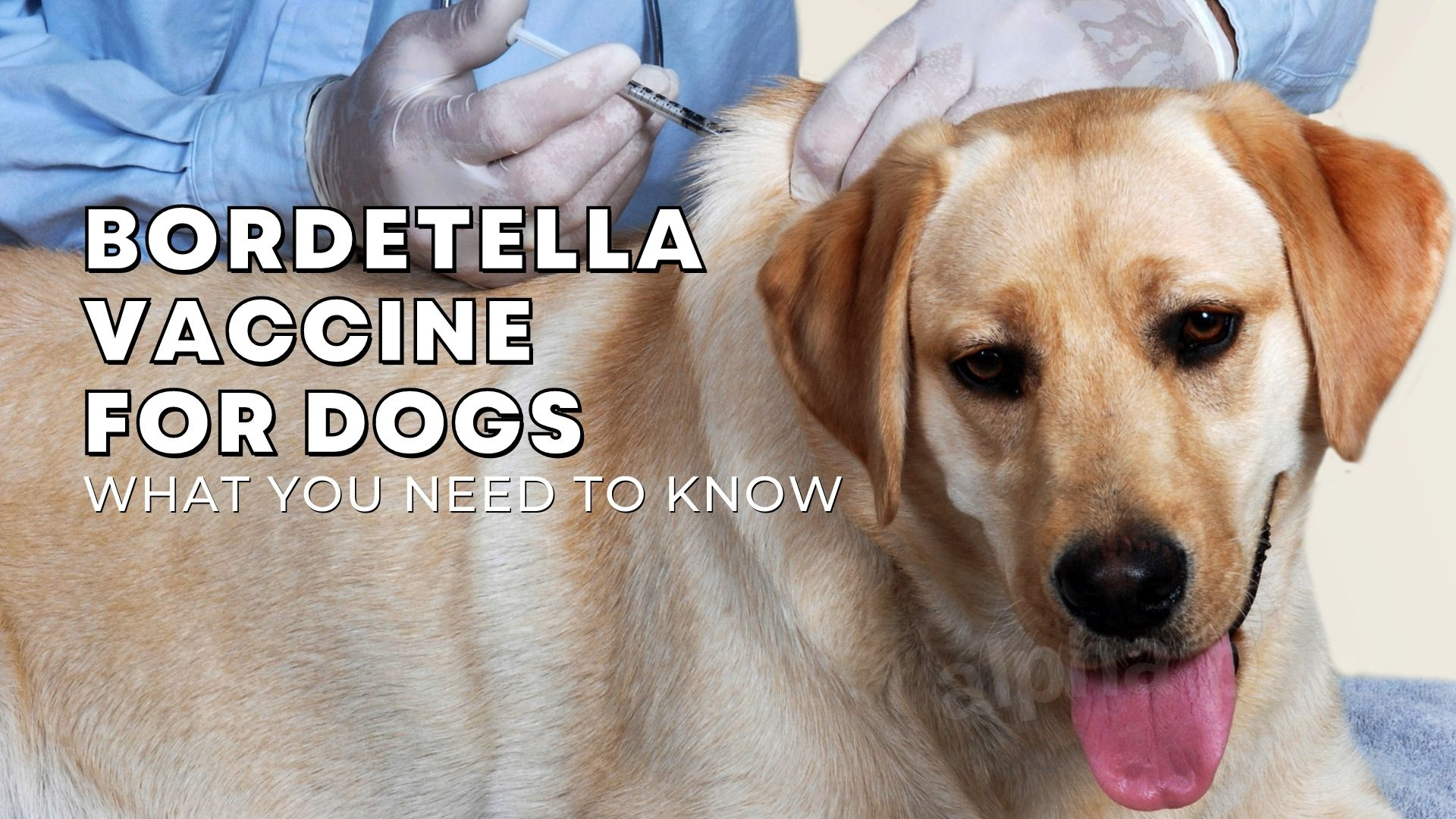 Bordetella Vaccine for Dogs: Here's What You Need to Know