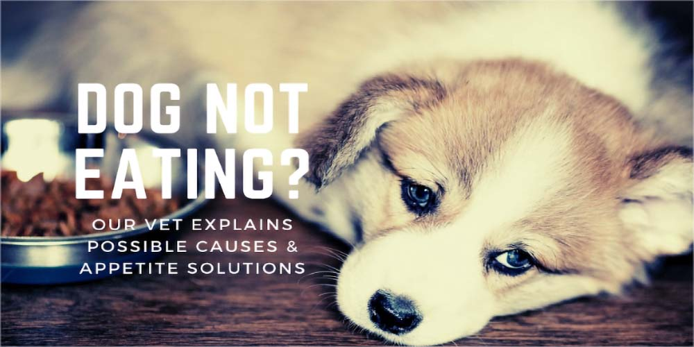 Dog Not Eating? Our Vet Explains Possible Causes & Dog Appetite Solutions