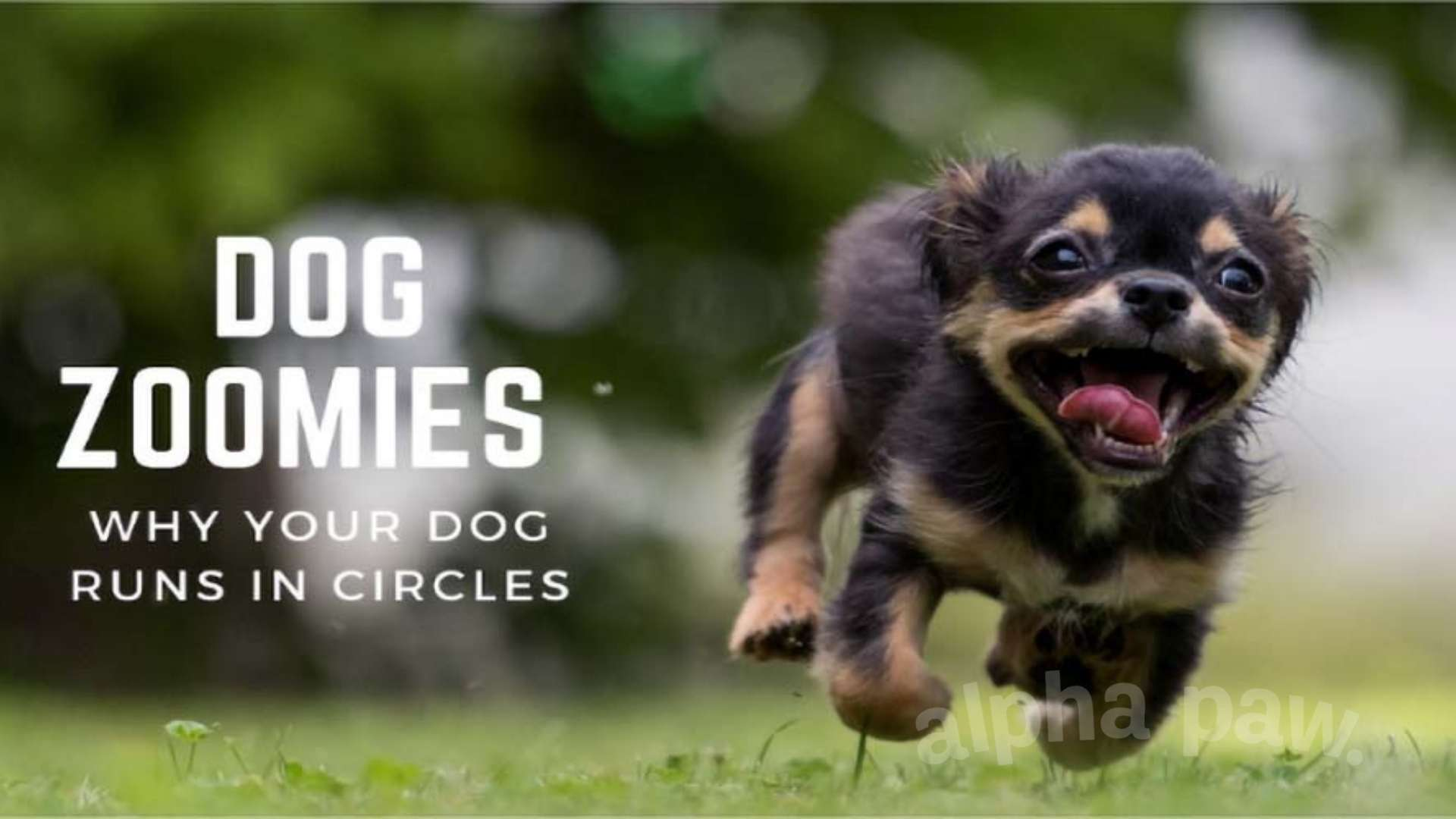 Dog Zoomies: Why Your Dog Runs in Circles (& What to Do)