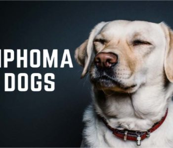 Lymphoma in Dogs: Symptoms, Diagnosis & Treatment