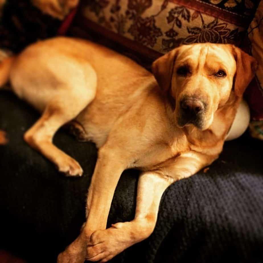 Labrador Sharpei