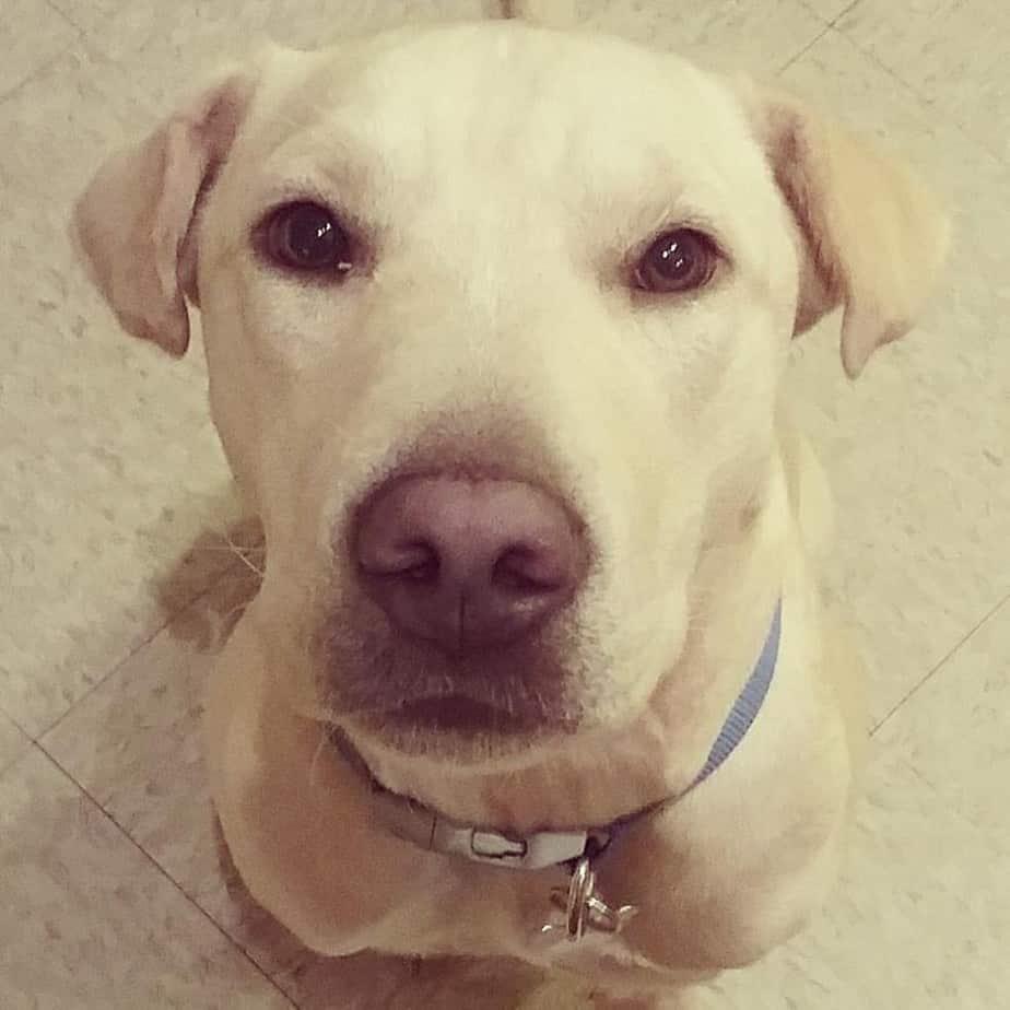 Labrador Shar Pei Mix
