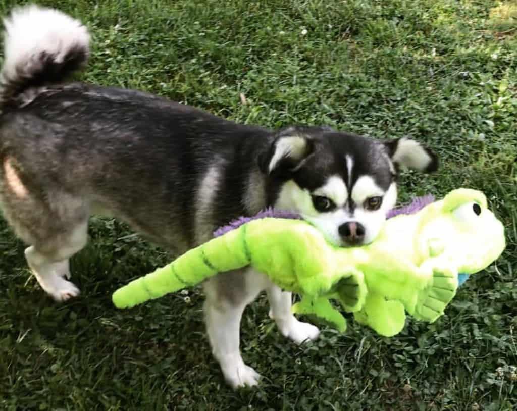 Husky crossed with Pomeranian