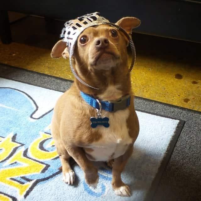 Pitbull Chihuahua