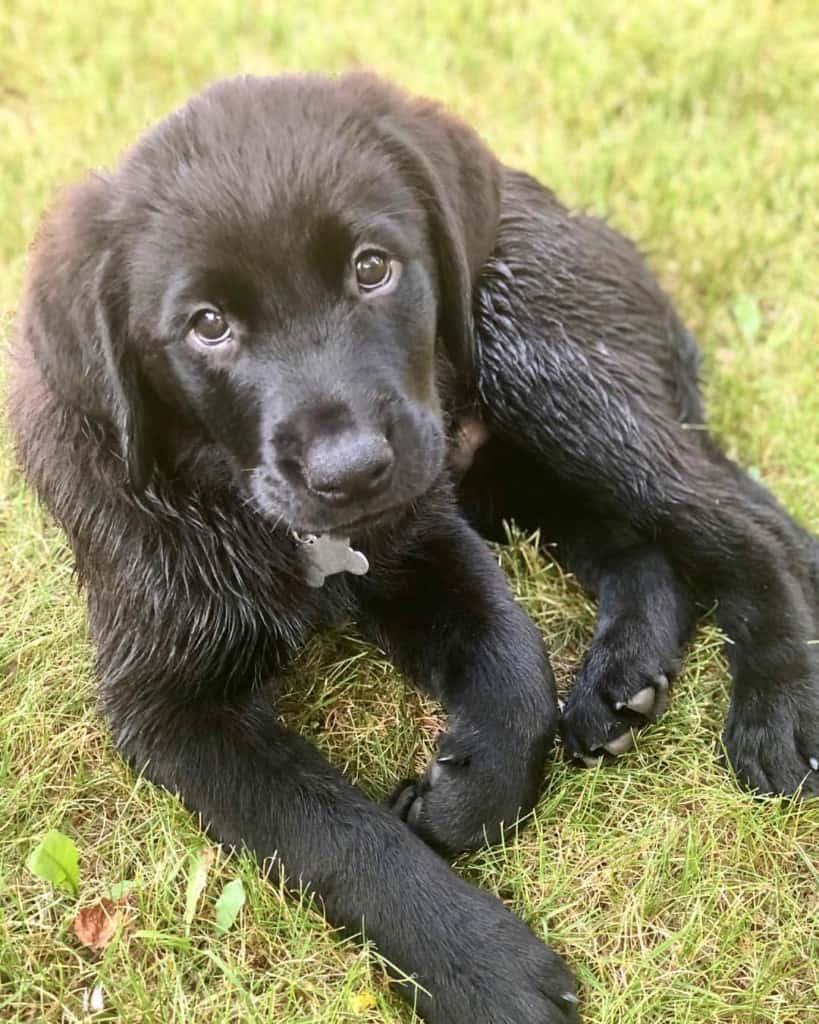 Golden Retriever Rottweiler Mix Pupppies