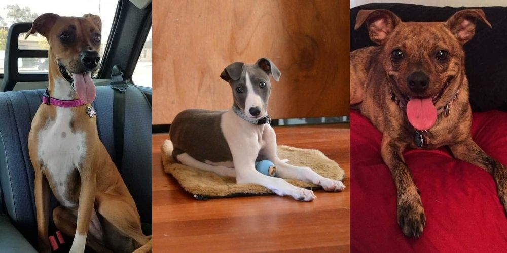44 Whippet Mix Breeds Types That Are Timeless