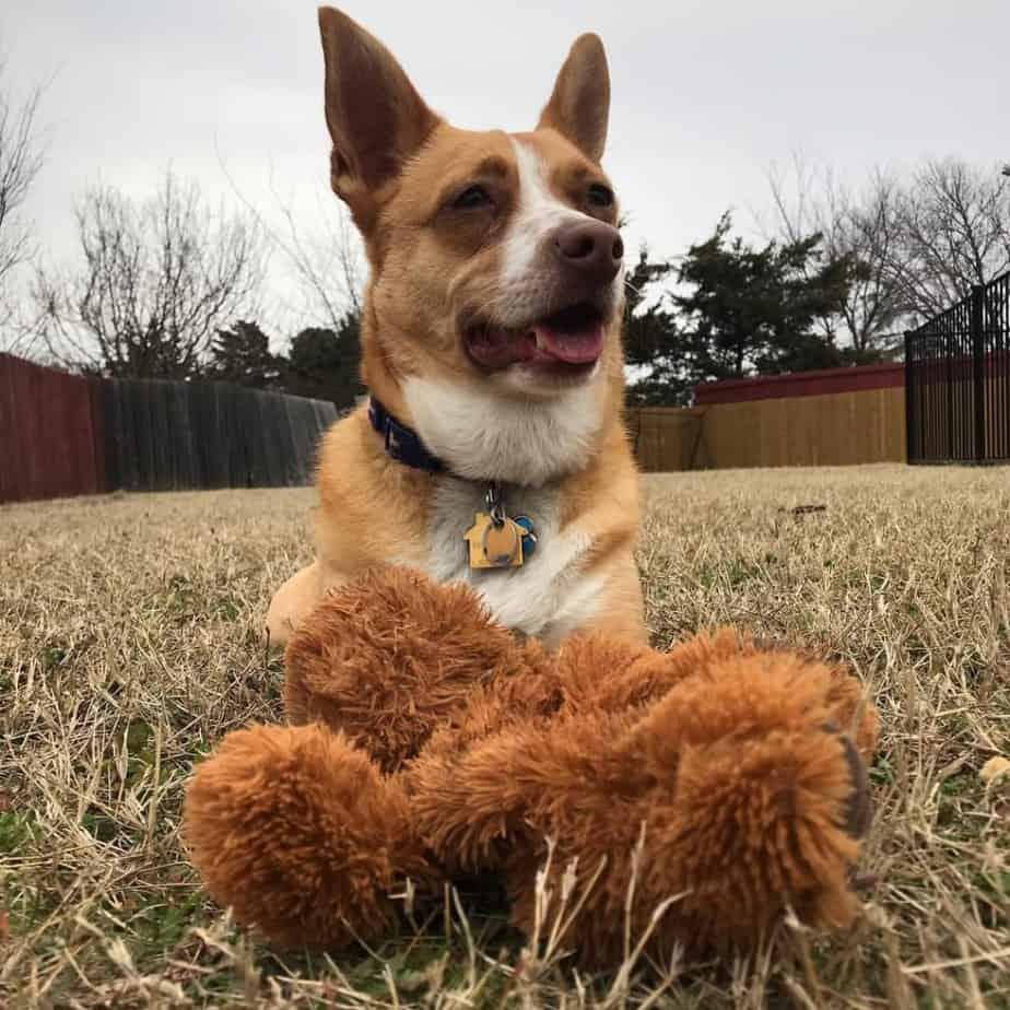 Terrier Corgi