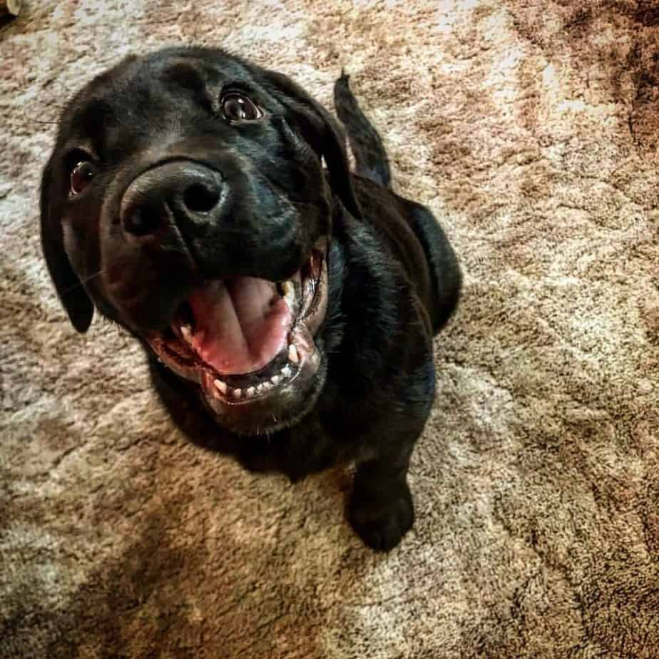 Rottweiler crossed with Lab