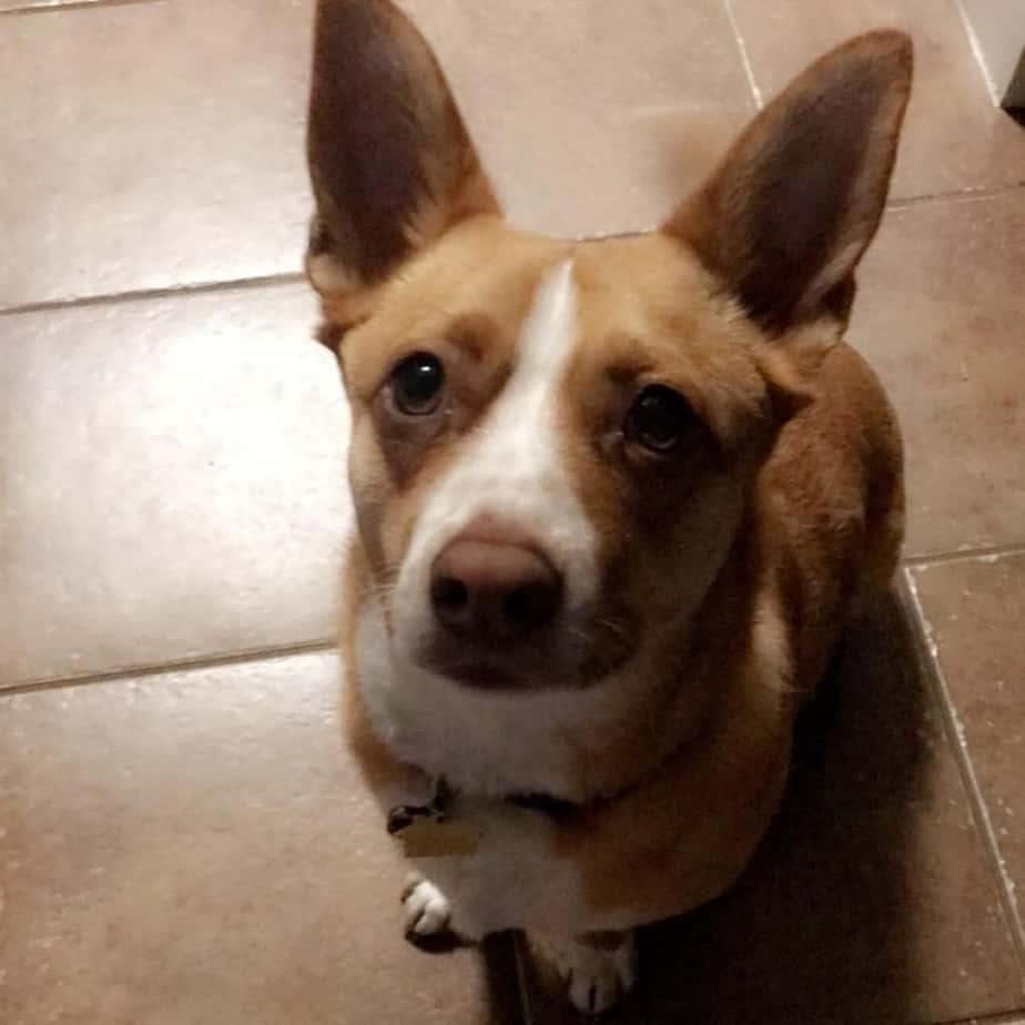 Corgi Terrier