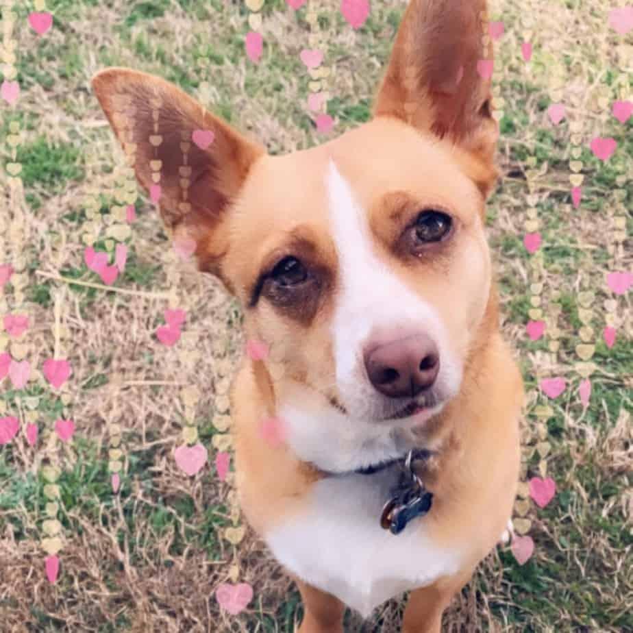Terrier Corgi mix