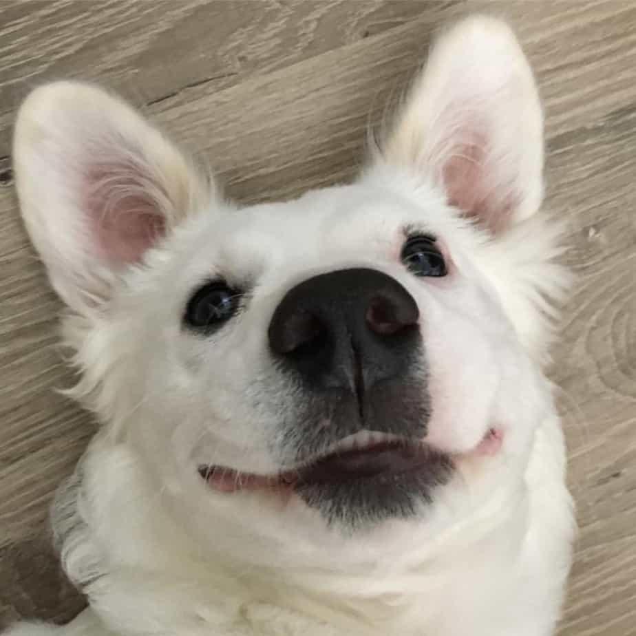 Corgi mixed with Terrier