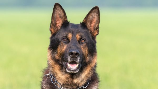 Best Dog Food for German Shepherds (1)