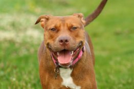 Best Dog Food for Pitbulls: A Complete Review