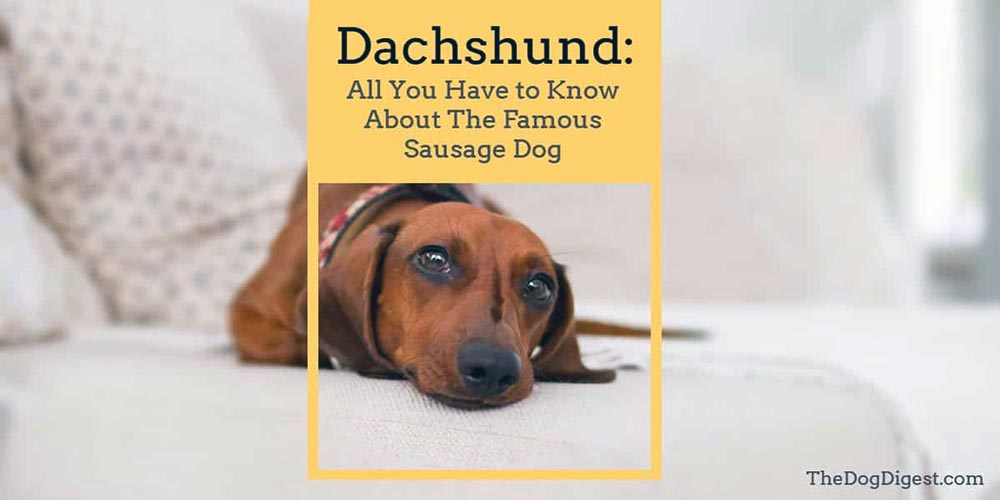 Dachshund: The Ultimate Guide of The Famous Sausage Dog