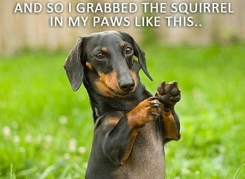 Weiner Dog Meme - And so I grabbed the squirrel in my paws like this.