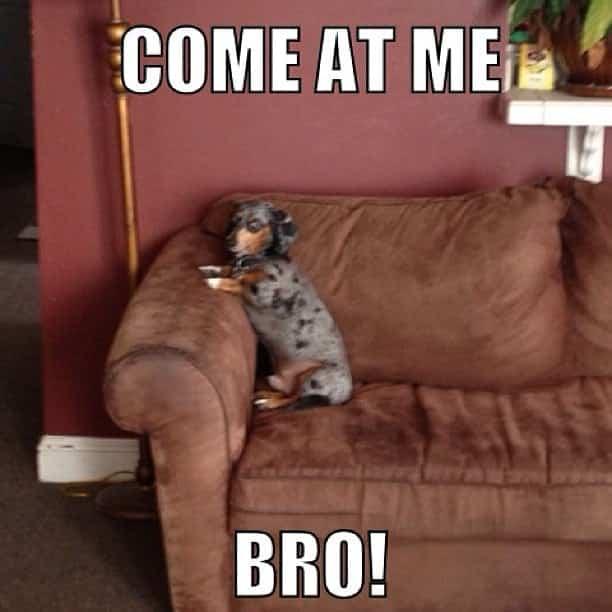 Weiner Dog Meme - Come at me Bro!