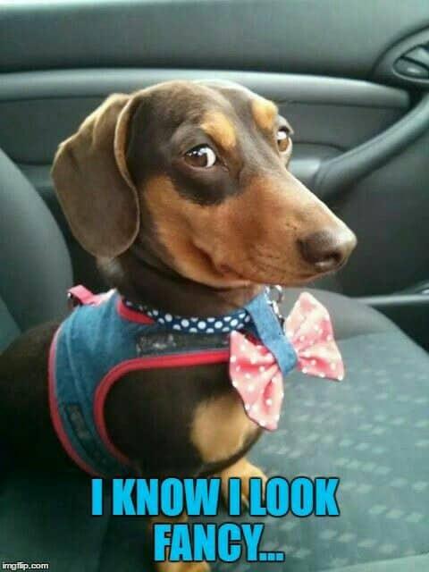 Weiner Dog Meme - I know I look fancy