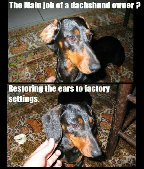 Weiner Dog Meme - The main job of a dachshund owner. Restoring the ears to factory settings.