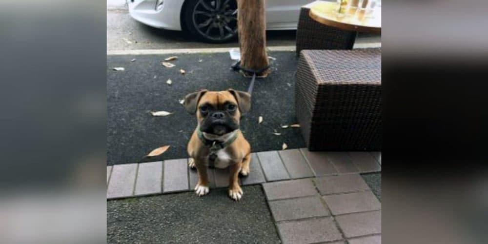 53+ French Bulldog Mix Breeds