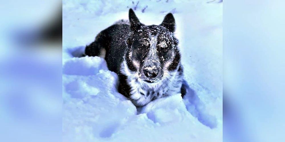 German Shepherd Blue Heeler Mix Facts